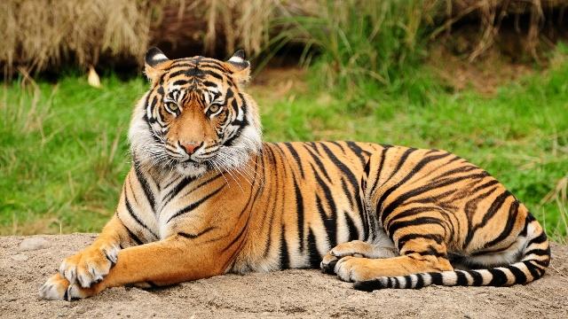 Interesting bengal tiger facts for kids, information, habitat ...